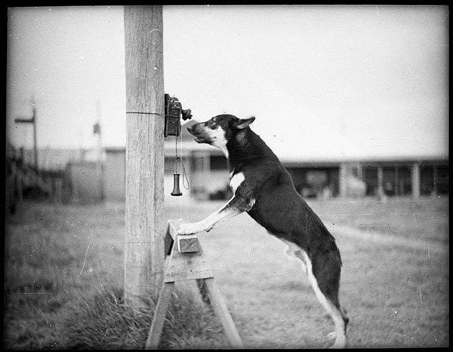 Police_Dog,_Tess,_29-1-35_-_by_Sam_Hood_(3210838977)