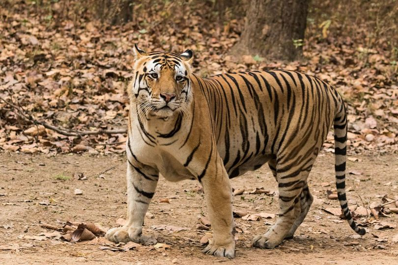1200px-Royal_Bengal_Tiger_at_Kanha_National_Park